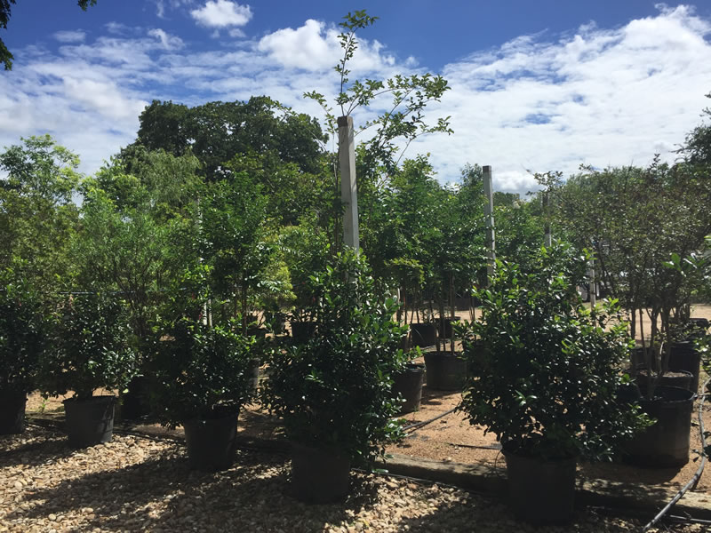 Tree Farm Nursery In Austin Tx D