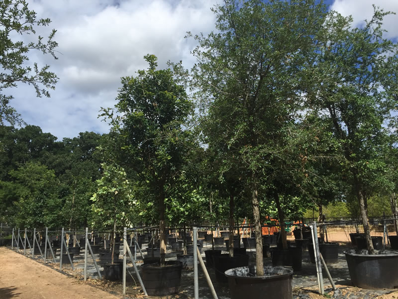 Tree Farm Nursery In Austin Tx D B Tree Company